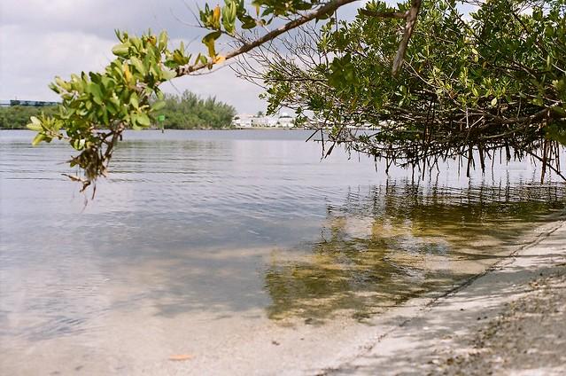 mangroves.