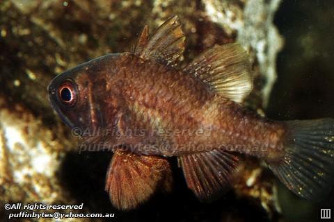 Southern Cardinalfish - Vincentia conspersa