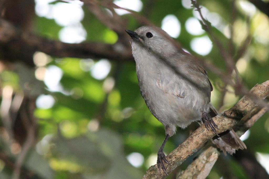 Popokotea - Whitehead (Mohoua albicilla)