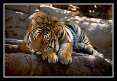 _MG_5001E (Ralston Images) Tags: animal cat canon feline wildlife tiger puma panther cougar amurtiger jrphotography flickrbigcats jasonralstonphotography