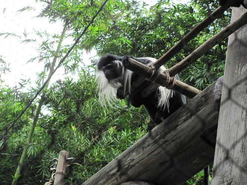Colobus Monkey on the Pangani Forest Exploration Trail