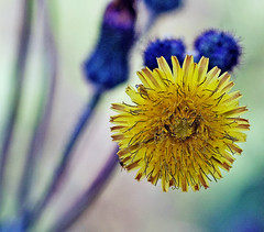Gardens of light (xeno(x)) Tags: flower macro nature yellow canon garden asia dandelion explore 2010 xeno mywinners 5d2