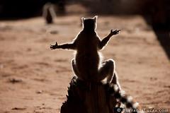 Sunbathing Lemur (Will Burrard-Lucas   Wildlife) Tags: silhouette lemur madagascar sunbathing ringtailedlemur berenty viaflickrqcom
