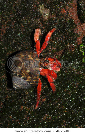stock-photo-red-land-hermit-crab-from-the-south-coast-of-java-island-indonesia-coenobita-rugosa-482596
