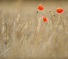 Poppies (MrHRdg) Tags: sunset red flower freeassociation field reading farmland poppy poppies fv10 sulham nunhidelane
