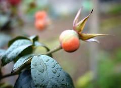 356/365 26.09.2010 (Jack_from_Paris) Tags: orange flower rain rose fleurs project garden lumix bokeh couleurs pastel micro 365 43 projet graine dmcf1 project365 pancake20mmf17asph p1000940gf1 detailfleur fan