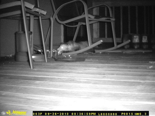 First Possum.  A skinny possum walks under a rocking chair, stretching its pointy nose to the aluminum cake pan full of dry cat food.