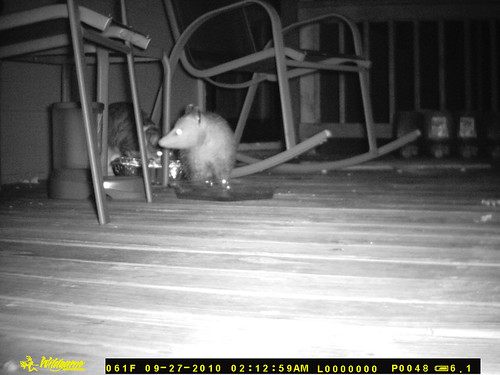 A very nice profile shot of a possum headed toward the camera with head turned to keep one eye on Noodlehead, who has evidently just told the possum to get off her porch and stop eating her food.