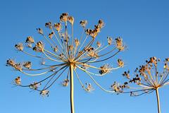 macro garden dill seed