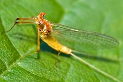 Distinctive Mayfly, Ecdyonurus viridis,  (aeschylus18917) Tags: macro nature japan insect fly nikon g micro  nikkor prefecture nagano f28 vr pxt mayfly ueda naganoprefecture inset 105mm insecta ephemeroptera 105mmf28 naganoken pterygota   105mmf28gvrmicro   d700 nikkor105mmf28gvrmicro naganoshi  palaeoptera danielruyle aeschylus18917 danruyle druyle uedashi ephemeropteroidea   ecdyonurusviridis