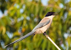 Azure Winged Magpie Singing In Profile (aeschylus18917) Tags: bird nature birds japan tokyo nikon call singing wildlife feathers aves sing micro 日本 東京 magpie nikkor calling pxt 鳥 80400mm 105mm kiyose onaga corvidae 105mmf28 azurewingedmagpie cyanopicacyana 80400mmf4556dvr cyanopica 105mmf28gvrmicro d700 80400mmf4556vr オナガ nikkor105mmf28gvrmicro ダニエル 清瀬市 danielruyle aeschylus18917 danruyle druyle kiyoseshi ルール ダニエルルール cyanopicacyanajaponica