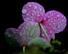 (Suzanne_K) Tags: pink flowers flower macro green nature rain closeup canon dark drops loveit pinkandgreen macroflowers