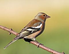 Male Chaffinch (HelenBushe) Tags: autumn birds scotland small birdwatching smallbirds chaffinch rspb lochwinnoch canon100400mm justgeotaggedflowersandwildlife rspbscotland