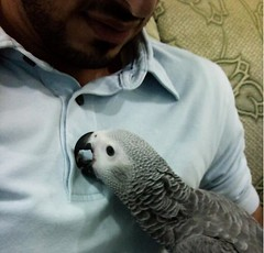 african grey (theyab_89) Tags: baby love grey play african parrot parrots
