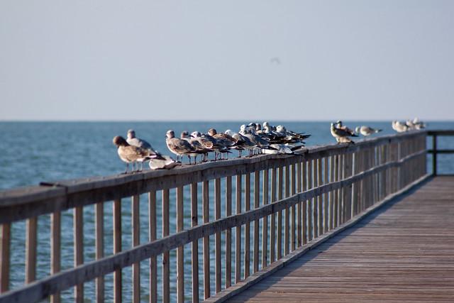 gulls5