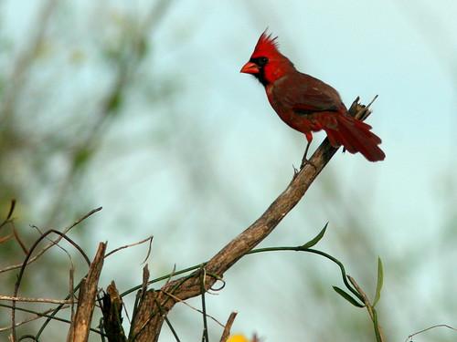 Northern Cardinal 20100930
