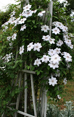 Clematis (~Down the Rabbit Hole~) Tags: clematis cottagegarden