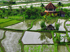 Rice Terraces-Bali-Indonesia (mikemellinger) Tags: bali green water indonesia rice paddy terrace farm terraces terraced gettyimageswant