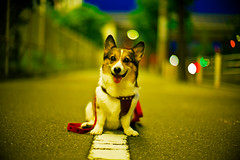 night walk (moaan) Tags: leica light dog smile smiling night digital pose 50mm evening corgi october dof bokeh walk illuminations posing f10 utata noctilux welshcorgi stroll 2010 m9 explored pochiko leicanoctilux50mmf10 leicam9 gettyimagesjapanq1 gettyimagesjapanq2