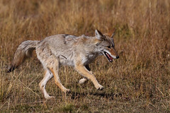 The Joy of Coyote (TheNatureDude) Tags: coyote yellowstone runningcoyote