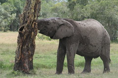 Trunks (AfriCommons) Tags: kenya centralprovince