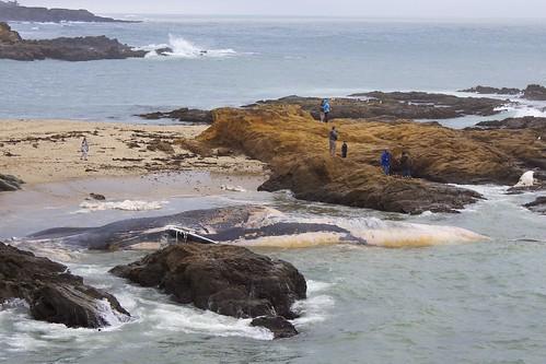 Dead Blue Whale & Fetus
