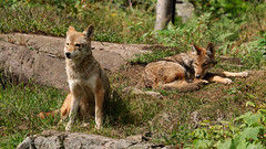 Coyote (Optimal Point Photography) Tags: coyote wild dogs animals quebec parcomega carnivores predators brushwolf canislatrans