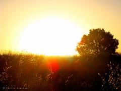 Polvere di luce (Silvia Blazina) Tags: light sun portugal colors field gold three tramonto alba mais reflect land romantic sole terra albero colori riflessi romantico luce controluce oro portogallo grano campi pacato sereno