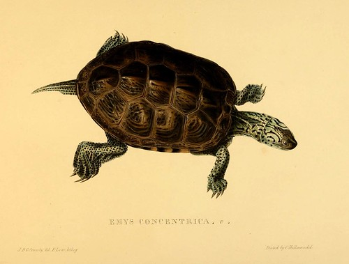 011-Emys concentrica-Tortoises terrapins and turtles..1872-James Sowerby