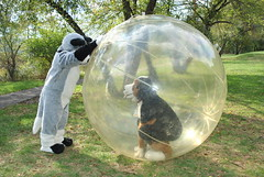 Fursuiter in a giant hamster ball