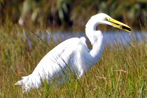 great egret eating 2