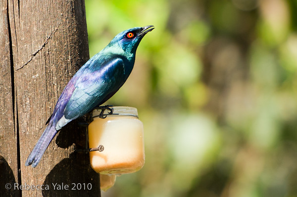 RYALE_African_Dawn_Birds_64