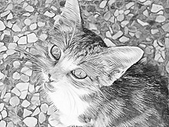 Cat (B&W Pencil Sketch Effect)