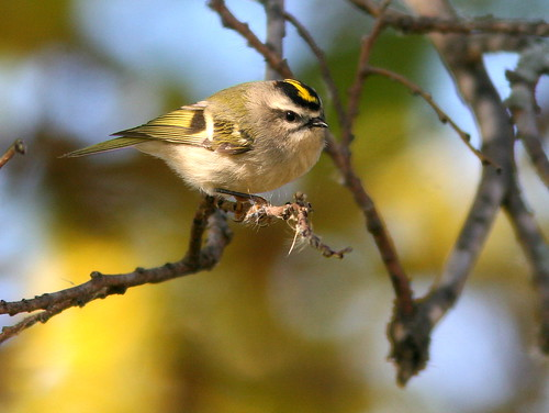 Golden-crowned Kinglet 2-20101007