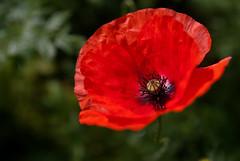 DSC_3567_tweaked (stephendl) Tags: flower wales poppy tamronspaf1750mmf28xrdiiildasphericalif nikond80