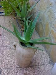 Aloe Vera en Paterna (Valencia)