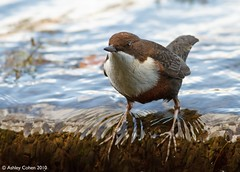 Dipper - Big Foot! - Explored! (Ashley Cohen Photography) Tags: autumn bird nature wildlife dipper northwales greenfieldvalley canon400mmf56l unitedkingdomuk canoneos7d
