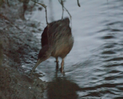 California Clapper Rail