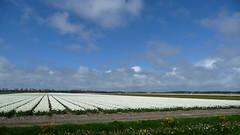 Tulips (jof-man) Tags: flowers holland color colour netherlands tulips nederland thenetherlands bulbs bloemen noordholland tulpen bollenveld zijpe tulpenveld