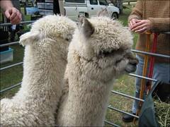 Llama Llama... no, wait.
