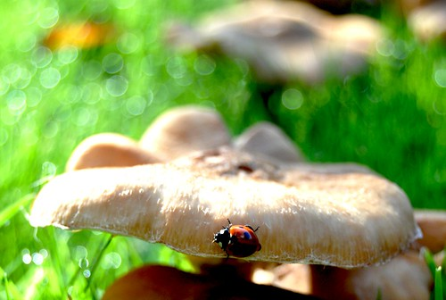 ladybug enjoying the glut of fungi on our lawn