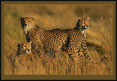 Ever watchful! (Rainbirder) Tags: cheetah acinonyxjubatus specanimal animalkingdomelite mygearandmepremium mygearandmebronze mygearandmesilver mygearandmegold mygearandmeplatinum mygearandmediamond