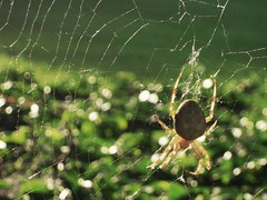 spider (MATAVI@) Tags: green net insect spider