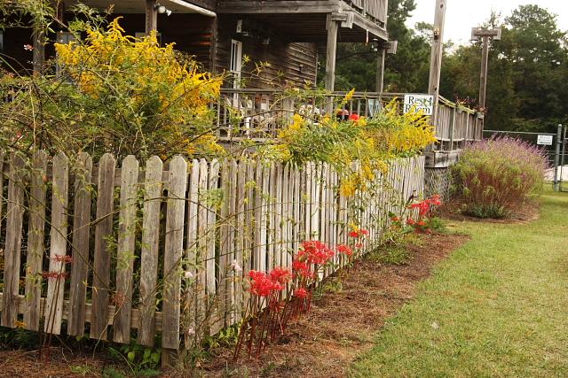 goldenrodsurpriselilies