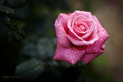 rain and roses (helen sotiriadis) Tags: pink macro green leaves rain rose closeup canon drops dof bokeh fresh depthoffield lenses canonef100mmf28macrousm canoneos40d updatecollection