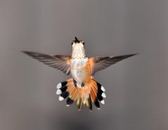 Female Rufous Hummingbird  Fan Tail (champbass2) Tags: california macro nature birds closeup female garden fan wings nikon hummingbird wildlife magic birding flight hummingbirds migration iridescence jewel fandance rufous california d90 gorget northern flying female champbass2 backyard jewels hummingbird birding