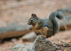 Douglas Squirrel with Pinecone nuts