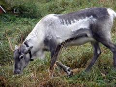 The reindeer (Ester Sveinbjarnardottir) Tags: people color grass animal horizontal walking reindeer mammal outdoors photography iceland day image no rearview sideview reykjavk themes rangifertarandus estersv oneanimals