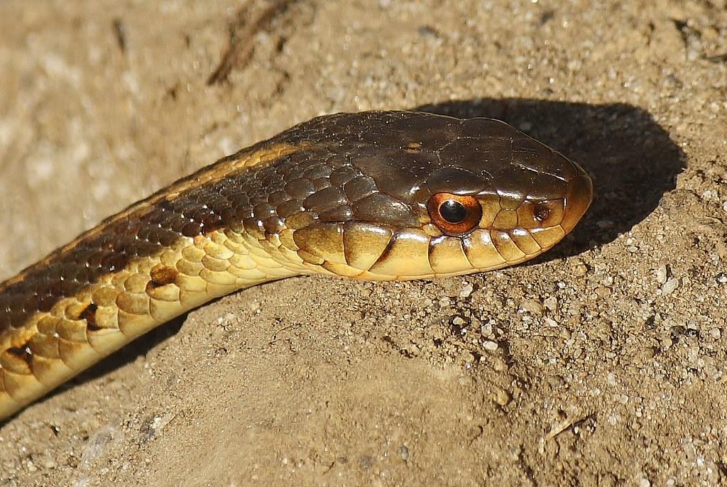 Common Garter Snake (16)