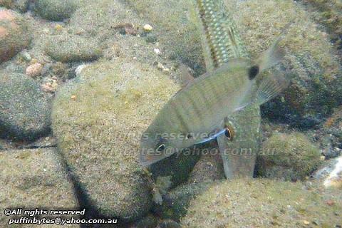 White Seabream - Diplodus sargus